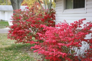 It IS the season for fire bushes!